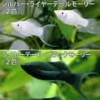 (熱帯魚)ライヤーテール2種セット ブラック+シルバー(各種2匹) 北海道・九州・沖縄航空便要保温