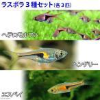 (熱帯魚)ラスボラ3種セット ヘテロモルファ+ヘンゲリー+エスペイ(各種3匹) 北海道・九州・沖縄航空便要保温