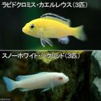 (熱帯魚)ラビドクロミス・カエルレウス(3匹) + スノーホワイト・シクリッド(3匹) 北海道・九州・沖縄航空便要保温
