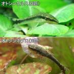 (熱帯魚)オトシンクルス(3匹) + オトシンネグロ(3匹)