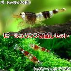(エビ)ビーシュリンプ(6匹) +レッドビーシュリンプ(5匹) 北海道航空便要保温