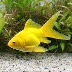 (国産金魚)玉黄金(1匹)