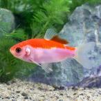 (国産金魚)更紗紅葉和金 白〜更紗(1匹)