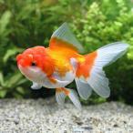 (国産金魚)日本花房(1匹)