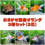 (国産金魚)オランダ3種セット(3匹) 北海道・九州航空便要保温