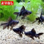 (国産金魚)よりなし(無選別) 黒出目金(クロデメキン)(5匹) 北海道・九州航空便要保温