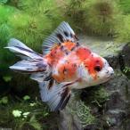 (国産金魚)東錦(アズマニシキ) 中サイズ(1匹)