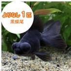 (国産金魚)よりなし(無選別) 黒蝶尾(チョウビ)(1匹)