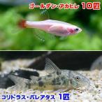 (熱帯魚)ゴールデンアカヒレ(10匹) + コリドラス・パレアタス(1匹) 北海道・九州・沖縄航空便要保温