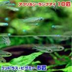 (熱帯魚)アフリカン・ランプアイ(10匹) + コ
