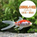 (国産金魚)よりなし(無選別) コメット 赤系〜更紗(10匹)