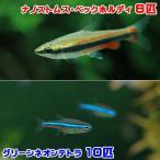(熱帯魚)グリーンネオンテトラ(10匹) + ナノストムス・ベックホルディ(6匹) 北海道・九州・沖縄航空便要保温