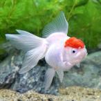 (国産金魚)丹頂 中サイズ(1匹)