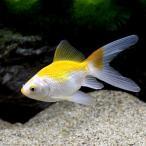 (国産金魚)金鱗玉黄金 黄色更紗 木村養魚場産(1匹)