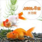 (国産金魚)よりなし(無選別)水泡眼(3匹)