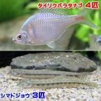 (淡水魚)タイリクバラタナゴ(4匹) + シマドジョウ(3匹) どじょう