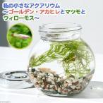 (熱帯魚 水草)私の小さなアクアリウム ゴールデンアカヒレボトルセット 〜マツモとウィローモス〜(1セット)説明書付 本州・四国限定