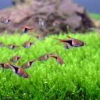 (熱帯魚)ラスボラ・ヘテロモルファ(6匹)