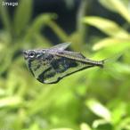 (熱帯魚)マーブル・ハチェット(4匹)