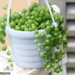 (観葉植物)ぶらりサキュレント グリーンネックレス 3号吊り鉢タイプ(1鉢) (説明書付)