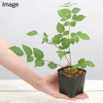 (観葉)山菜 タラノキ 苗 3〜4号(1ポット) 家庭菜園