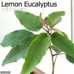(観葉植物)ユーカリ レモンユーカリ 3号(1ポット) 家庭菜園