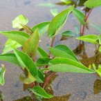 (ビオトープ/水辺植物)サウルルス(アメリカハンゲショウ)(1ポット)