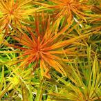 (水草)ルドウィジア インクリナータ キューバ(水上葉)(無農薬)(3本)
