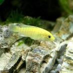 (熱帯魚)ラビドクロミス・カエルレウス(2匹) 北海道・九州・沖縄航空便要保温