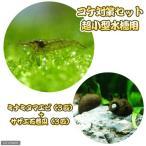 (エビ・貝)コケ対策セット 超小型水槽用 ミナミヌマエビ(3匹) + サザエ石巻貝(3匹)