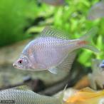 (淡水魚)タイリクバラタナゴ(2匹)