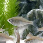 (淡水魚)ニッポンバラタナゴ(4匹)