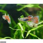 (熱帯魚)レッドグラス・グッピー(国産グッピー)(1ペア) 北海道・九州・沖縄航空便要保温