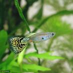 (熱帯魚)イエローグラス・グッピー(国産グッピー)(1ペア) 北海道・九州・沖縄航空便要保温