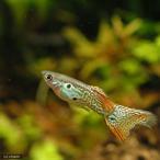 (熱帯魚)オレンジレースコブラ・グッピー(国産グッピー)(1ペア)