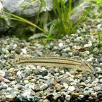 (淡水魚)スジシマドジョウ Sサイズ(1匹) どじょう