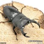 (昆虫)国産オオクワガタ 山梨県韮崎市産 幼虫(初〜2令)(1匹) 北海道航空便要保温