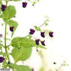 (山野草)黒花ヒキオコシ(黒花引起) 3〜3.5号(1ポット)