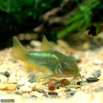 (熱帯魚)コリドラス・イルミネータス グリーン(ワ