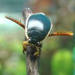 (昆虫)ゲンゴロウ オス(3匹)