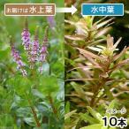 (水草)ロタラ ロトンディフォリア(水上葉)(無農薬)(10本)