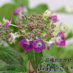 ショッピングアジサイ (山野草/盆栽)ヤマアジサイ(山紫陽花) 品種おまかせ 2.5〜3号(1ポット)