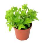 (水草)ウォーターバコパ(水上葉) 鉢植え(無農薬)(1ポット分)