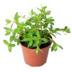 (水草)ニードルリーフ ルドウィジア(水上葉) 鉢植え(無農薬)(1鉢)