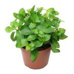 (水草)レッドルドウィジア(水上葉) 鉢植え(無農薬)(1鉢)
