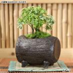 (観葉)観葉盆栽 益子焼鉢植え 品種おまかせ(炭化 ドラム型 小)(1鉢)