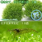 (水草)巻きたて リシアボール(無農薬)(1個) +ミナミヌマエビ(10匹) 北海道航空便要保温