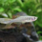 (熱帯魚)ダニオ・キャスィット(4匹)