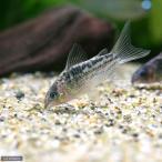 (熱帯魚)コリドラス・エレガンス(ワイルド)(1匹
