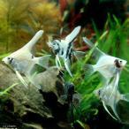 (熱帯魚)ミックス・エンゼルフィッシュ Sサイズ(国産ブリード)(3匹) 北海道・九州・沖縄航空便要保温